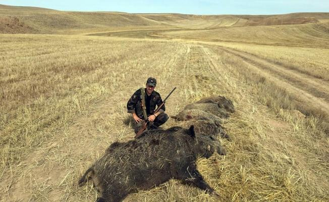 Pancar Tarlasına Giren 6 Domuz Vuruldu